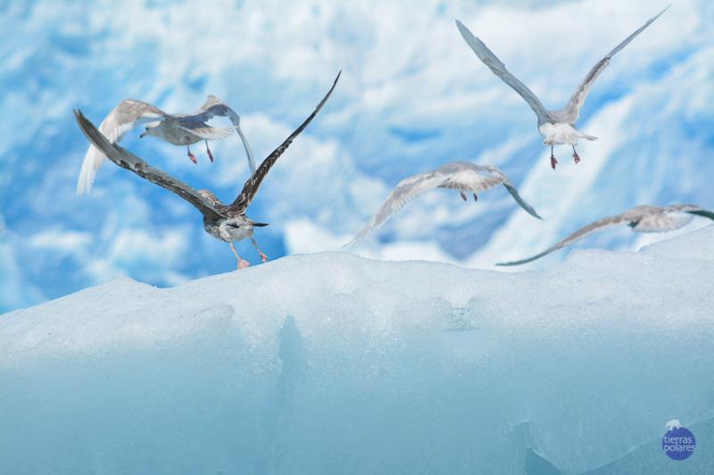 •Viaje donde fue tomada la foto Qaleraliq. Groelandia •Breve descripción personal de la foto Foto realizada mientras se exploraba el fiordo y los frentes glaciares, 5 gaviotas ante la proximidad del fueraborda inician vuelo desde un iceberg •Categoría de la foto en la que participa Categoría 3. Tu fotaza.