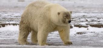 Una de osos polares híbridos