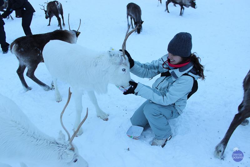 FOTO 2 – COPITO DE NIEVE  •Nombre y apellidos del autor:  Alfredo Martín Cercadillo  •Viaje donde fue tomada la foto: Noruega 2015 - Lofoten, auroras boreales y trineo de perros •Breve descripción personal de la foto: Empapándonos de la cultura Sami, dando de comer a este extraordinario reno.  •Categoría de la foto en la que participa: Mi fotaza; La foto más divertida; Foto con más espíritu de exploración.